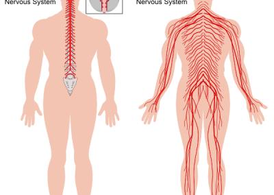 Централна и периферна нервни системи